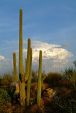 Saguaro by Dawn's Early Light