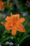 carols_flowers