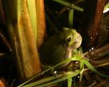 Green frog vocalizing