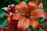 Orange Tiger Lily.jpg