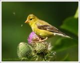 Chardonneret jaune(f)  /  Spinus tristis