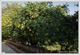 Agrumes / Citrus