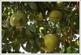 Pomelo /  Citrus maxima