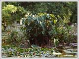 Colocasia...aquarium