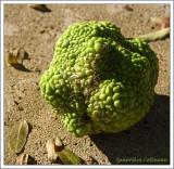 Fruit de l'Oranger des Osages / Maclura pomifera