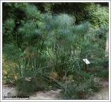 Cyperus papyrus / Papiro