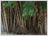 Bambou / Bambù
