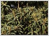 Nèfle /  Eriobotrya japonica