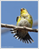 Chardonneret jaune(m)  /  Spinus tristis