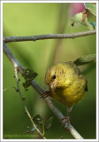 Chardonneret jaune (im) / Spinus tristis