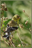 Chardonneret jaune (m - j) / Spinus tristis
