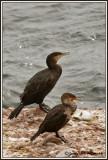 Grand cormoran / Phalacrocorax carbo  ///  Cormoran à aigrettes / Phalacrocorax auritus