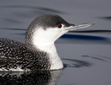 S001-2c Red-throated loon - non-breeding_3373.jpg