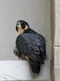 Peregrine Falcon - adult_4036.jpg