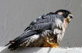 Peregrine Falcon - adult_4061.jpg