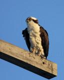 Osprey_4392.jpg