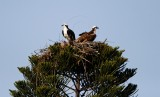 Osprey pair nest pine_4687.jpg