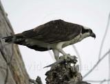 Osprey_4212.jpg