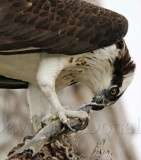 Osprey eating fish close up_4226.jpg