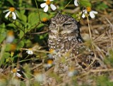 Burrowing Owl_4514.jpg
