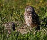 Burrowing Owl - pair_4498.jpg