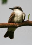 Gray Kingbird_1543.jpg
