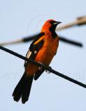 Spot-breasted Oriole - male_1760.jpg