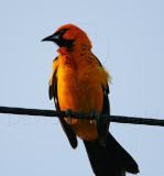 Spot-breasted Oriole - male_1763.jpg
