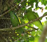 White-winged Parakeet_2092.jpg
