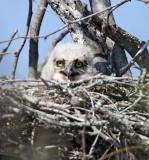 Great Horned Owl - baby_6771.jpg