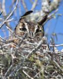 Great Horned Owl_6681.jpg