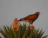Harris's hawk juvenile_6892.jpg