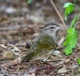 Olive Sparrow_6832.jpg