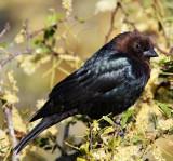 Brown-headed Cowbird - male_7256.jpg