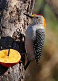 Golden-fronted Woodpecker - male_7333.jpg