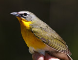 Yellow-breasted Chat_7690.jpg