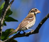 Rose-breasted Grosbeak - female_8328.jpg