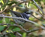 Blackpoll Warbler - male breeding_8364.jpg