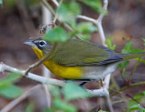 Yellow-breasted Chat_3780.jpg