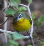 Yellow-breasted Chat_3777.jpg
