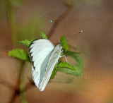 Great Southern White - male_3088.jpg