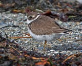 Semipalmated Plover - winter_5107.jpg