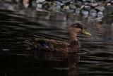 American Black Duck_4486.jpg
