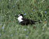 Sooty Tern - Rockport_8145.jpg
