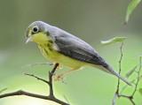 Canada Warbler - adult female_8363.jpg