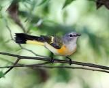 American Redstart - juvenile male_8420.jpg