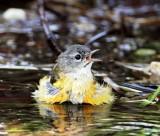 American Redstart - juvenile male_8452.jpg