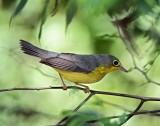 Canada Warbler - 1st year female_8481.jpg