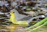 Canada Warbler - female_8494.jpg