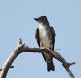 Olive-sided Flycatcher_8314.jpg